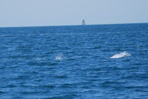 Tarpon Rolling by the Boat