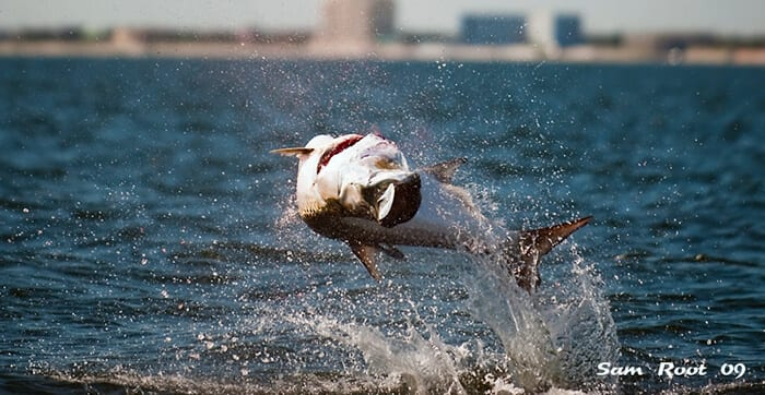 fishing charters in tampa bay florida client hooked up with tarpon