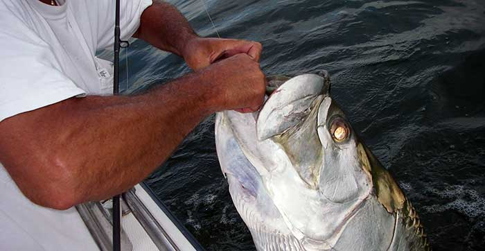 tampa tarpon fishing charters client holding huge tarpon by lip